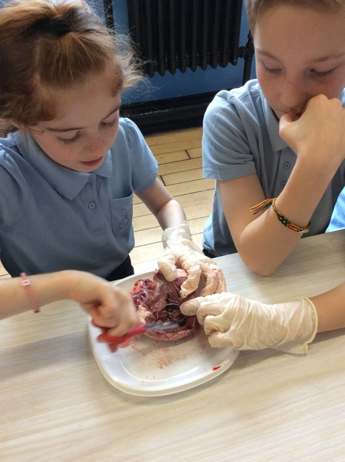 Year 6 Heart Dissection | St Clare's RC Primary School